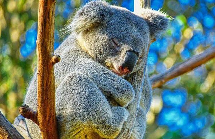 Where To See A Koala In Australia Best Places To View Koala Bears