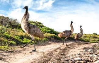Port Lincoln National Park Emus