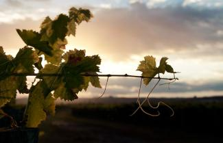 Silhouette of grapevines in the Napier, Hastings Hawkes Bay region.
